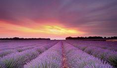 Lavendel Provence Frankrijk