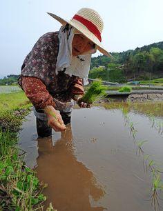 Rice planting Japan