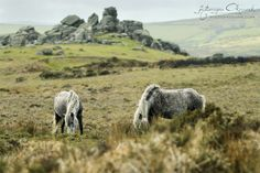 Dartmoor ponies from Dartmoor National Park by Katarzyna Okrzesik