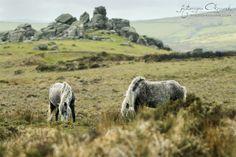 Dartmoor ponies from Dartmoor National Park by Katarzyna Okrzesik