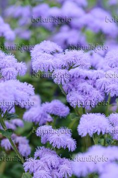 487227 - Floss flower (Ageratum houstonianum 'Blue Horizon')
