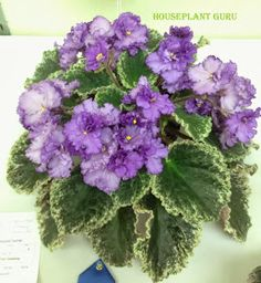 'Buckeye Too Tempting'    In my last post, I talked about the design portion of the Ohio African violet show. My favorite part of the show...