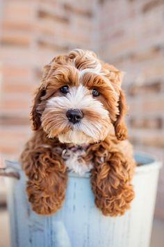 Tessa the Cockapoo Puppy by Happy Tails Photography. Dying over her curly pawed cuteness.