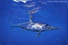 Ichthyosaurus was an ancient marine reptile that swam through the Jurassic seas. A treasure trove of fossils of this dolphin-shaped creature... | Julius T. Csotonyi