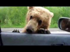Urso pedindo comida na estrada - YouTube