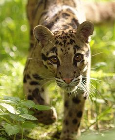 Name: Java Gender:Female Species: Clouded Leopard Mate/Crush: none Personality: She is shy, caring, and sometimes sarcastic. She is very clever and is hoping to find a friendly and smart mate. She will not hunt animals if she knows them.