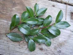 How to root a camellia!  Gotta do this before it's too late.