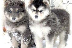 Meet BLUE COAT a cute Wolf Hybrid puppy for sale for $700. RARE BLUE COATED HYBRID PUPPY