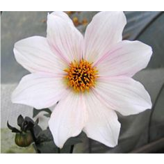 Cuttings are taken from our motherstock. Order now for delivery Spring Cuttings are delivered between April and May. All Year Round, Cuttings, Dahlias, Magenta, Roots, Bloom, Delivery, Spring, Plants