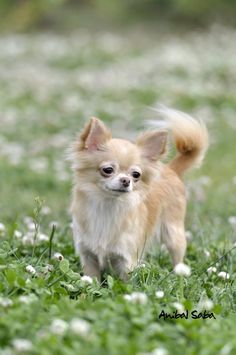 Chihuahua I WANT THIS ONE...ANYONE WANT TO GET ME A LATE CHRISTMAS GIFT???? LMAO