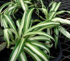plante exotique int rieur kentia howea forsteriana palmier d int rieur paris c t. Black Bedroom Furniture Sets. Home Design Ideas