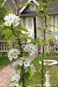 Pear Tree Blossoms and The Clock House!