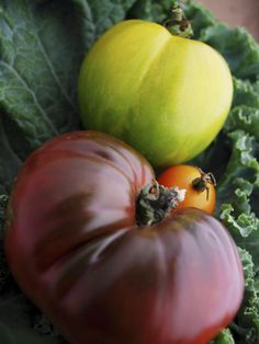 Tomato varieties range from black to white, and include pink, orange, red, yellow and green. Shown here: 'Black Krim', a Russian beefsteak heirloom; 'Sungold', an orange hybrid cherry; and 'Yellow Zebra', a beefsteak heirloom.