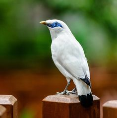 Bali Mynah by Chris Rubey, via Flickr
