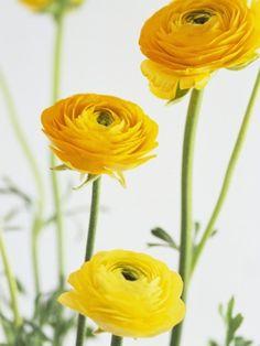 yellow ranunculus ...maybe instead of peonies Yellow Peonies, Floral Wedding, Yellow Wedding Flowers, Orange Flowers, Yellow Spring Flowers, Ranunculus Bouquet, Ranunculus Wedding, September Flowers, Yellow Springs
