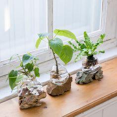 Mini Bonsai, Indoor Bonsai, Indoor Plants, Hydroponic Gardening, Hydroponics, Ikebana, Ficus Ginseng Bonsai, Indoor Water Garden, Floating Plants