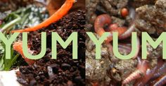 Nature Composting Best Foods to Feed Red Wiggler Composting Worms Organic Fertilizer, Organic Gardening, Gardening Tips, Red Wiggler Worms, Red Wigglers, Worm Castings, Red Worms, Worm Farm, Worm Composting