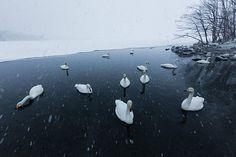 Week in wildlife: Whooper Swans Take Flight In Japanese Snowstorm