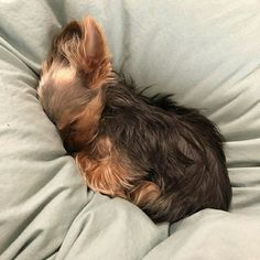 Super Cute Puppies, Cute Dogs, Animals And Pets, Cute Animals, Good Night Friends, Baby Pigs, Teacup Puppies, Yorkie Puppy, Yorkshire Terrier