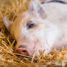 Cerrar los ojos y dormir con una sonrisa significa en idioma porcino: confío plenamente en ti y la vida que me das me hace feliz  -- #cerdito #animales #animalesfelices #animaleslibres #animalesfantasticos #rescateanimal #dormirfeliz #sueño #sueños #paz #ternura #felicidad #felicidadtotal #felicidadplena #alegria #alegría #alegrias #libertad #amigosnocomida #animalesnocomida #instachile #chile #chilegram #instachile_ #instachilegram #veganoschile #vegetarianoschile