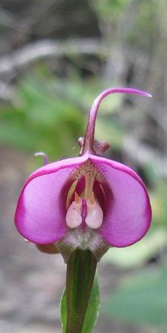 Fynbos Orchid