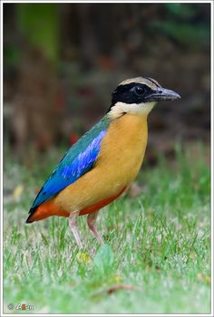 The pretty Blue-winged Pitta comes from Southeast Asia and Australasia.