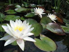 The White water-lily is a common plant of still or slow-moving water and grows in ponds, lakes, canals and ditches. It has large, lily-pad leaves that are up to 30cm across, and grows in water up to 5m deep; the leaves and flowers float at the surface, while the rest of the plant is submerged, growing from the mud at the bottom. It flowers during the summer, from June to August, the blooms opening up in the sunshine. Info: The Wildlife Trusts Farm Pond, Moving Water, Unique Wedding Venues, White Lilies, Water Flowers, Landscaping Plants, Planting Flowers, Flowering Plants, Habitats