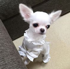 Cute Chihuahua, Chihuahua Puppies, Cute Dogs And Puppies, Baby Dogs, Pet Dogs, Doggies, Cute Baby Animals, Funny Animals, Girl And Dog