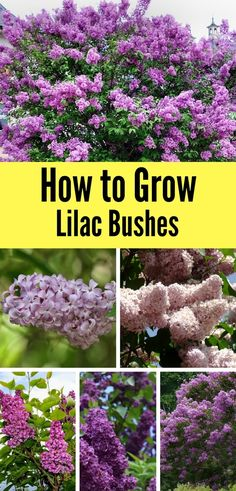 Garden Planning Learn how to grow lilac bushes in your garden this Spring with a few simple tips! - Lilac bushes are gorgeous when in bloom - they're a must-have for Spring gardens! Learn how to grow and care for them this season with these simple tips! Garden Inspiration, Plants, Lilac Bushes, Planting Flowers, Flower Garden, Gardening For Beginners, Garden Shrubs, Garden Design, Garden Landscaping