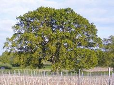 Our Oldest Oak. Vineyard, English, Gallery, Outdoor, Outdoors, Roof Rack, Vine Yard, Vineyard Vines, English Language