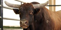 R.I.P. Spit Fire: The BFTS bull passed away on Monday. MORE: http://at.PBR.com/5t0B.