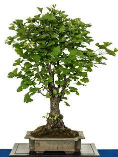 my bonsai display bonsai ideas pinterest gartenregale. Black Bedroom Furniture Sets. Home Design Ideas