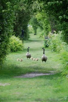 Canadian geese family || Goslings