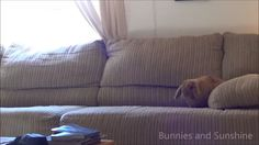 """bunnies-and-sunshine: """" Crash test bunny. Poor little Simon just can't relax whenever he's on the couch! """""""