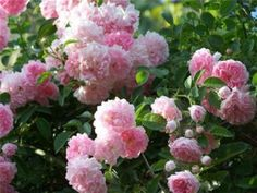 Climbing roses: the selection, planting, care