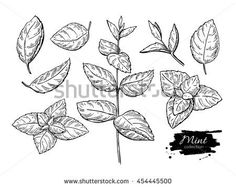 stock-vector-mint-vector-drawing-set-isolated-mint-plant-and-leaves-herbal-engraved-style-illustration-454445500.jpg (450×357)