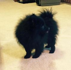 Meet Pomeranian - Newton, a Petfinder adoptable Pomeranian Dog   Omaha, NE   If you are interested in adopting, please fill out an...