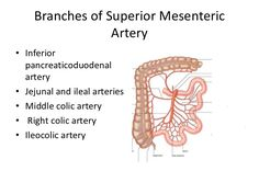 Image result for superior mesenteric artery supplies