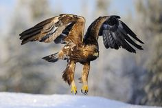 White-tailed eagle - Google Search
