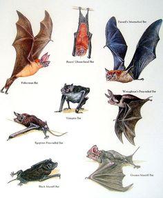 Bats Fisherman Bat Vampire Bat Black Mastiff by mysunshinevintage Bat Species, Animal Species, Animals Of The World, Animals And Pets, Cute Animals, Murcielago Animal, Black Mastiff, Animal Plates, Bat Flying