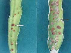 Spots on the branches of pitahaya / pitaya cactus may be the result of various Dragon Fruit diseases. This article is a pictorial review with clear details on hard to find information.