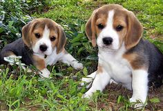ANIMALS TIME : Beagles time (Hora del beagle)