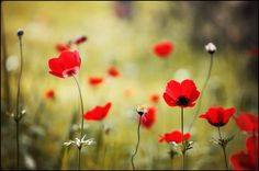 Wild Anemones | by aroundtheisland