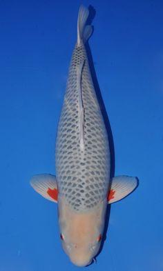 1000 images about asagi koi on pinterest koi red and for Asagi koi fish