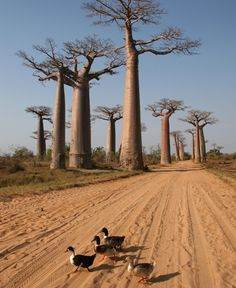 Madagascar, Eastern Africa.  Go to www.YourTravelVideos.com or just click on photo for home videos and much more on sites like this.