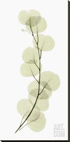 Eucalyptus Stretched Canvas Print by Acee at Art.co.uk