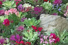 """A random mix of flowering kale or cabbage, dianthus, snapdragons and pansies can create a bed of dazzling color."""