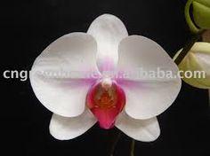 phalaénopsis coeur rose