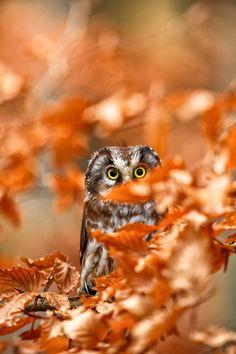 Tengmalm's Owl - Sýc rousný (Aegolius funereus) - null