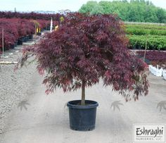 Description Botanical Name: Acer Palmatum Dissectum 'Tamukeyama'Common Name: Tamukeyama Japanese Maple Foliage: Red LeafLight Requirements: Full sun to part shadeMature Size: (H x W): x